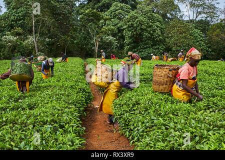 Kenya, Kericho county, Kericho, tea picker picking tea leaves - Stock Image