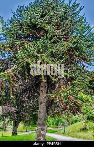 Monkey Puzzle Tree (Araucaria araucana) Norway - Stock Image