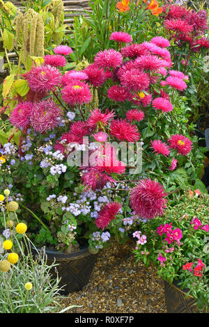 Colourful flower container with a close up of Callistephus chinensis 'Star Scarlet' - Stock Image