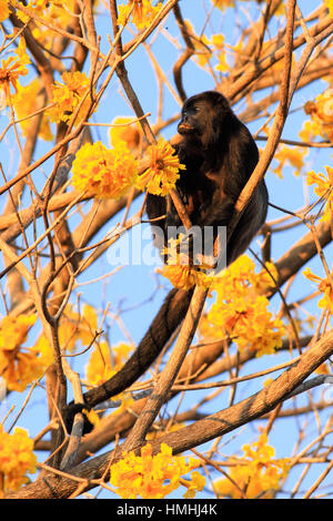 Mantled Howler Monkey (Alouatta palliata) amongst Yellow Cortez (Tabebuia ochracea) flowers in tropical dry forest - Stock Image