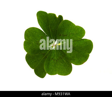 Natural and irregular six-leaf clover isolated over a white background. - Stock Image