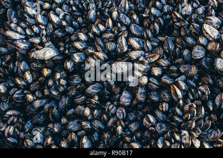 Close up of dense grouping of mussels (shellfish), McClures Beach, Point  Reyes National Seashore, California, USA. - Stock Image