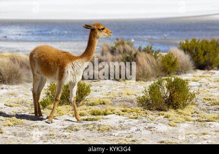Vicuna in Chili - Stock Image