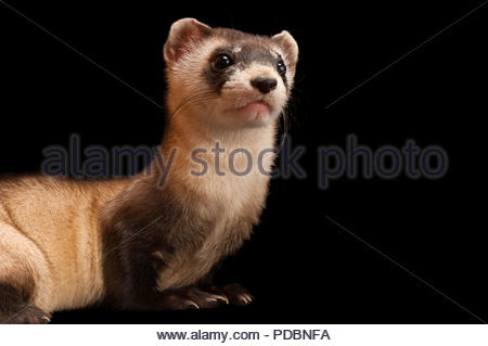 A black-footed ferret, Mustela nigripes, at the Cheyenne Mountain Zoo. - Stock Image