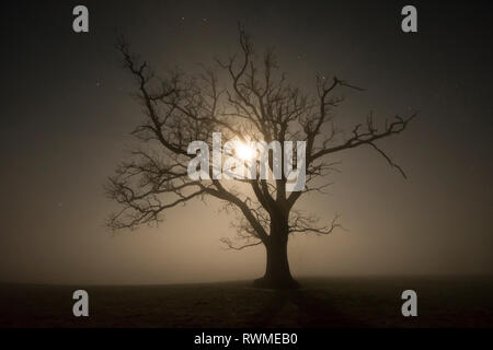 moon shining through the branches of a dying oak tree suffering from dieback, Misty night. Sussex, UK, February - Stock Image