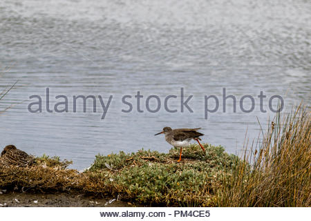 A Redshank stretching a leg on a grassy tussock in a salt marsh. - Stock Image