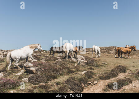 Herd of Wild horses on the Pembrokeshire coastline, Wales, United Kingdom - Stock Image