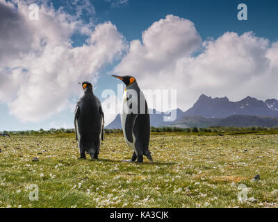 Close-up low angle view of two adult penguins alone together during mating season on South Georgia Island in November. - Stock Image