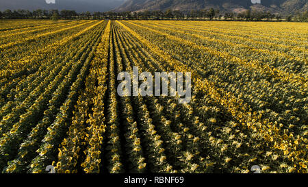 Field of sunflowers. Cachapoal Valley, Chile. - Stock Image