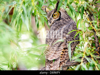 A great Horned owl in a cottonwood tree at Malheur National Wildlife Refuge in southeastern Oregon in autumn. - Stock Image