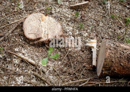 newly felled tree and stump in woods zala county hungary - Stock Image