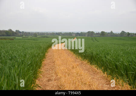 A footpath which has been clearly marked by a farmer runs acorss a field of crops between the Oxfordshire villages of Bladon and Begbroke - Stock Image