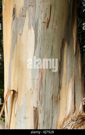 plane tree trees bark trunk Platanus - Stock Image