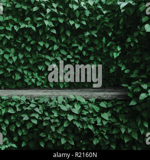 Syringa vulgaris common lilac plants green leaf hedge background, old aged dark gray weathered wooden bench niche, large detailed scenic horizontal - Stock Image
