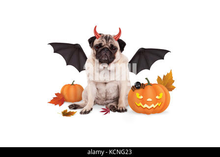 pug dog dressed up as devil for halloween, with  scary pumpkin lantern, isolated on white background - Stock Image