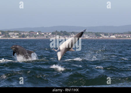 Two Bottlenose dolphins (Tursiops truncatus) leaping/breaching in the Moray Firth, Chanonry Point, Black Isle, Scotland, UK, Europe - Stock Image