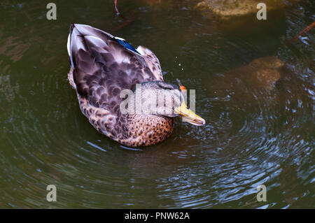 An American Black Duck Latin Name Anas rubripes - Stock Image
