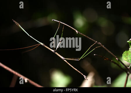 Walking stick insect on branch - Stock Image