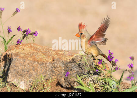 USA, Arizona, Amado. Female cardinal with wings spread. Credit as: Wendy Kaveney / Jaynes Gallery / DanitaDelimont.com - Stock Image