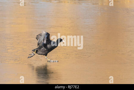 Coot Fulica atra walking on ice,  London UK - Stock Image