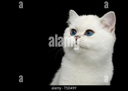 Portrait of British White Cat with blue eyes Looking at side on Isolated Black Background, front view - Stock Image
