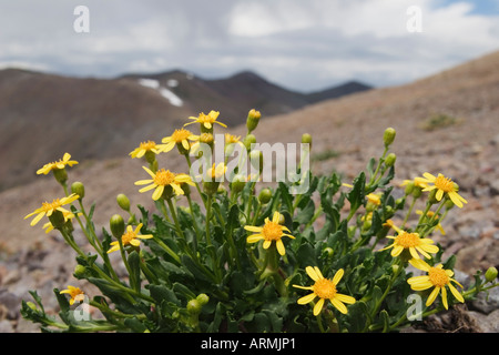 Wildflowers in bloom on the slopes above Kennedy Canyon in the Emigrant Wilderness Area California USA - Stock Image