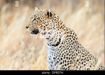A female leopard in Samburu in Kenya. - Stock Image