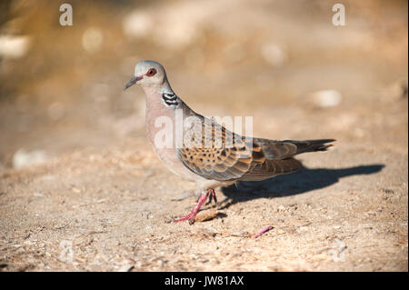European or Eurasian Turtle Dove, (Streptopelia turtur),Ibiza, Balearic Islands, Spain, Mediterranean Sea - Stock Image
