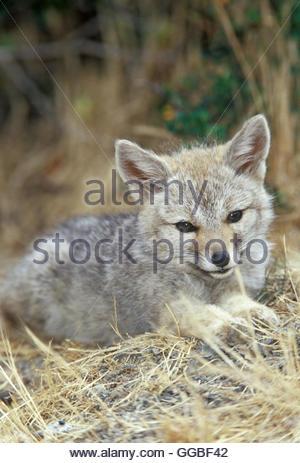 Zoology / animals, mammal / mammalian (mammalia), Young Patagonian gray fox (Dusicyon griseus griseus), Torres del - Stock Image