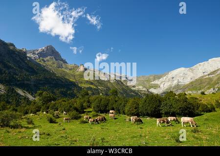 Beef cattle grazing in La Larri valley with peaks in the background in Ordesa y Monte Perdido National Park (Sobrarbe, Huesca, Pyrenees, Aragon,Spain) - Stock Image