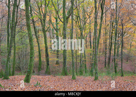 Trees in Hembury Woods in Devon showing a range of Autumn colours - Stock Image