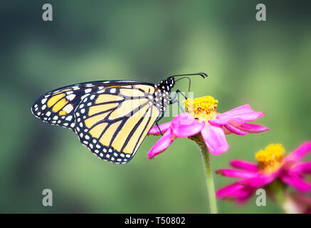 Monarch butterfly feeding on a pink zinnia flower on a green background - side view - Stock Image
