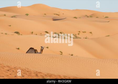 Camel on desert - Stock Image