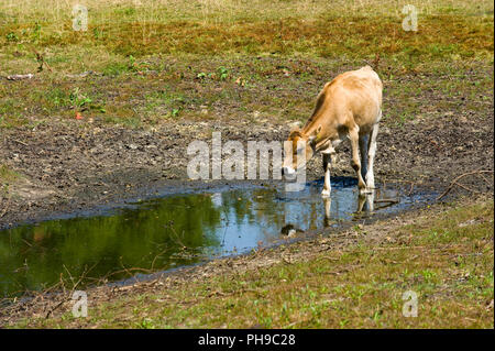 A cow has little water to drink in a pond after a period of drought in the summer in the Netherlands - Stock Image