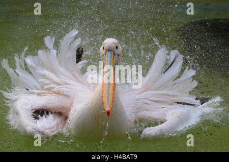 Great white pelican, Pelecanus onocrotalus - Stock Image