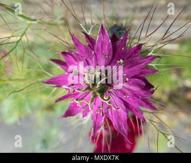 Love in a mist Mulberry rose - Stock Image