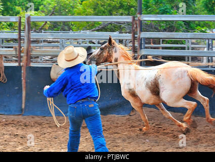Tom Curtain the singing cowboy performing in his Outback Experience show in Katherine, Northern Territory,  lassoing a  young unridden wild horse - Stock Image