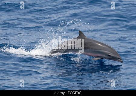 Fraser`s dolphin, Lagenodelphis hosei, Borneo-Delfin, leaping, Indonesia - Stock Image