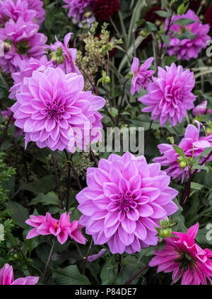Flower heads of Dahlia Lilac Time - Stock Image