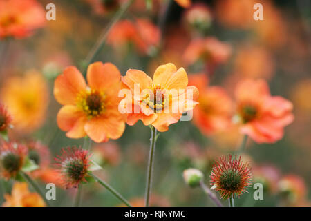 Geum 'Totally Tangerine' flowers. - Stock Image