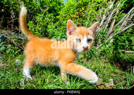 Orange kitten with blue eyes walking in a green garden in the summertime - Stock Image