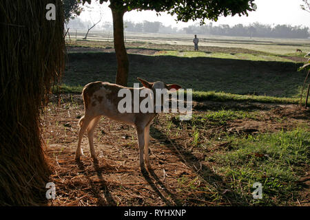 BANGLADESH A calf and early morning view of farmland belonging to Garo tribal minority Haluaghat, Mymensingh region photo by Sean Sprague - Stock Image