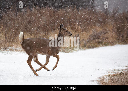 White-tailed Deer fawn running along sanctuary path in snow storm (Odocoileus virginianus) - Stock Image