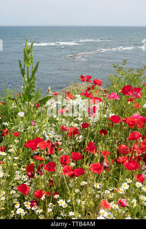 A colourful display of poppies and daisies on a cliff top above the sea at Cullercoats , north east England, UK - Stock Image