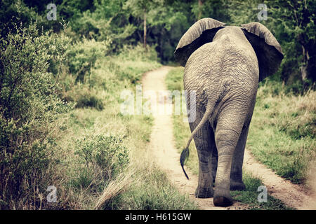 Rear view of the big wild elephant walking in the Kruger national park, safari game drive, South Africa - Stock Image