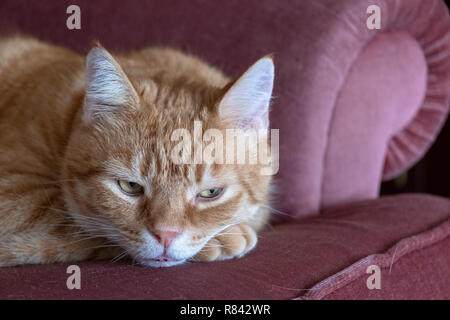 male ginger cat laying on furniture leaving cats where he lays. - Stock Image