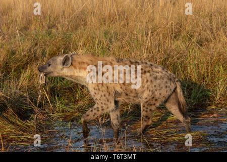 Spotted hyaena (Crocuta crocuta) carrying carrion, Khwai conservancy, Okavango delta, Botswana, - Stock Image