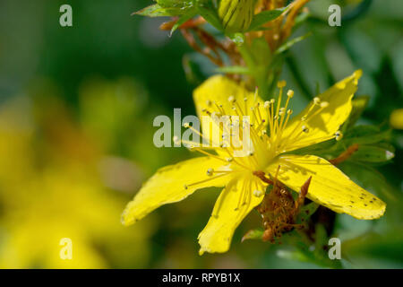 Perforate St. John's-wort (hypericum perforatum), close up of a single flower. - Stock Image