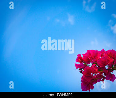 A red bougainvillea during Miami summer. - Stock Image