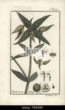 Caper spurge, Euphorbia lathyris. Handcoloured copperplate engraving from a drawing by B. Thanner from Johannes Zorn's 'Icones plantarum medicinalium,' Germany, 1796. Zorn (1739-99) was a German pharmacist and botanist who travelled all over Europe searching for medicinal plants. - Stock Image
